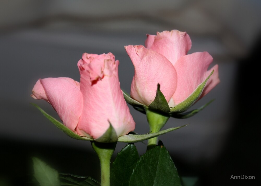 Pink Rose Buds by AnnDixon