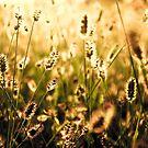 Golden Grass by paluch