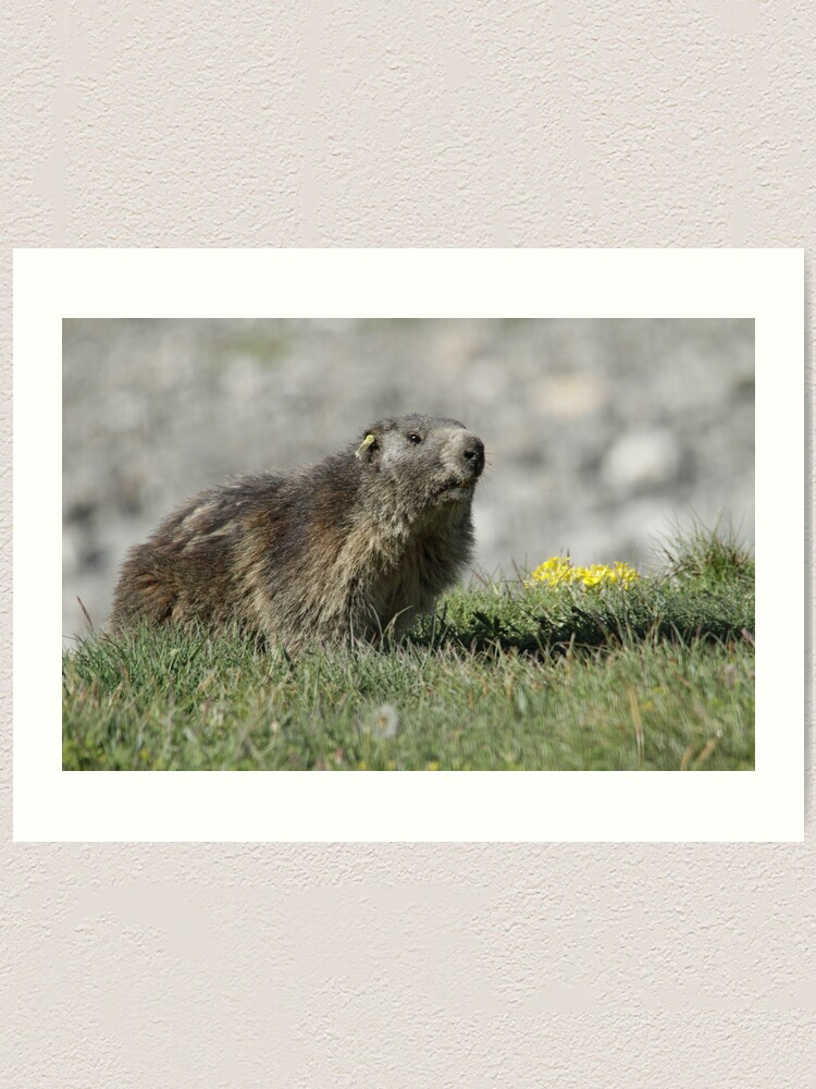 Alternate view of Boss of the marmots Art Print