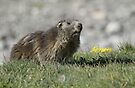 Boss of the marmots by Anthony Brewer
