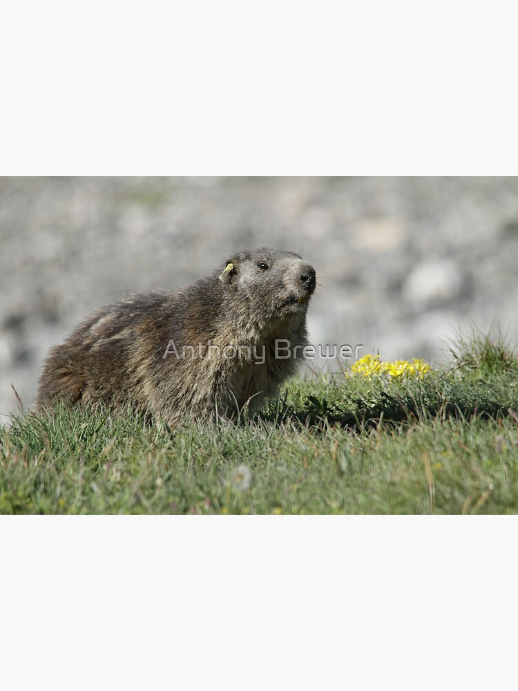 Boss of the marmots by dailyanimals