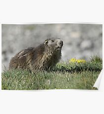 Boss of the marmots Poster