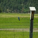 Mountain Blue Bird by Scott Hendricks