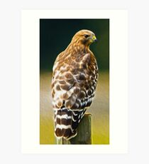 Red-Shouldered Hawk, Oil Painting Art Print