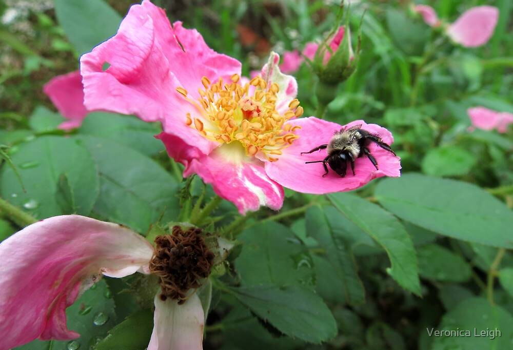 Bumble Bee on a Rose by Veronica Schultz