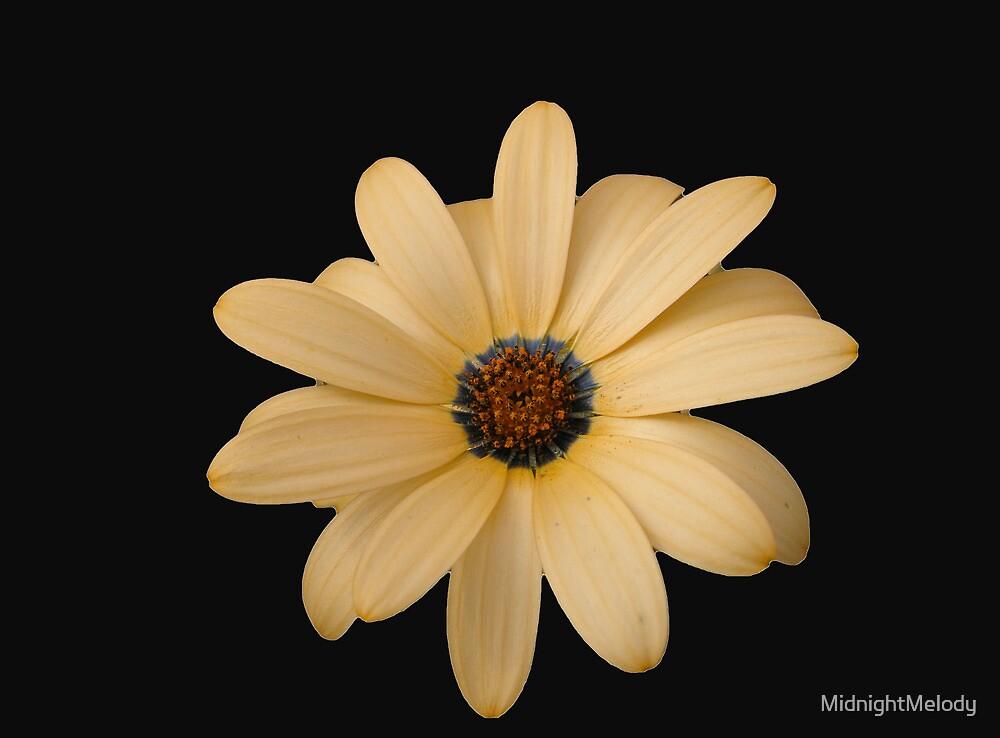 Pretty Cape Daisy on Black Background by MidnightMelody