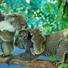 Koala's by fnqphotography