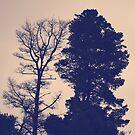 Cypus Trees over looking Queens Park, Geelong by Mick Kupresanin