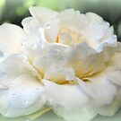 Gardenia, white and pure by Lozzar Flowers & Art