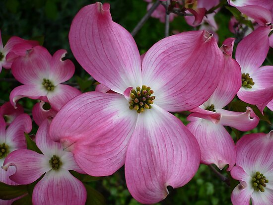 Dogwood 2 by Jess Meacham