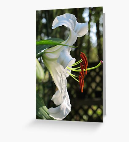 The Ever Graceful Casa Blanca Lily Greeting Card