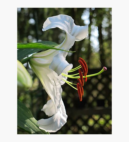 The Ever Graceful Casa Blanca Lily Photographic Print