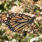 Butterfly Close-Up, High Line, New York's Elevated Garden and Park by lenspiro