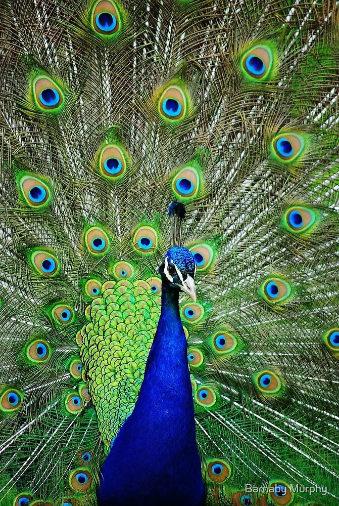 Peacock Display by Barnaby Murphy