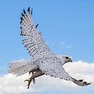 Gyr Falcon in flight by Linda Sparks