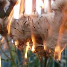 Burning thistle down by indiacording