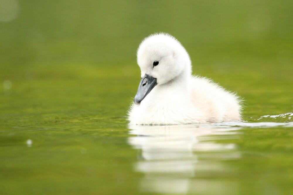 Mute Swan Cygnet by Danielle Connor