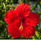 Hibiscus by Bryan D. Spellman
