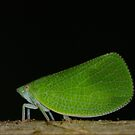 Is this green Moth? by vasu