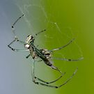 Spider's dinner! by vasu