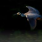 Flight Of A Yellow Crowned Night Heron  by John Absher