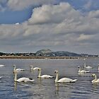 Swans at the foot of the Esk, Musselburgh with Portobello & Edinburgh behind by Shona McMillan