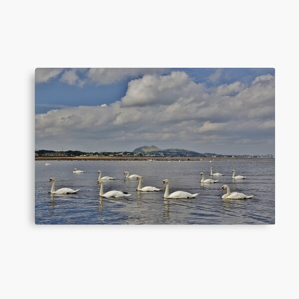 Swans at the foot of the Esk, Musselburgh with Portobello & Edinburgh behind Canvas Print