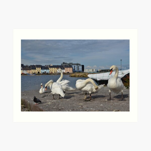 Swans at the Claddagh in Galway, Ireland  Art Print