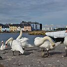 Swans at the Claddagh in Galway, Ireland  by Shona McMillan