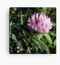 Wildflower series: Wild White Clover, No. 1 Canvas Print