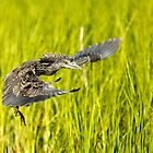 Young Night Heron - Yippie I can Fly by TJ Baccari Photography