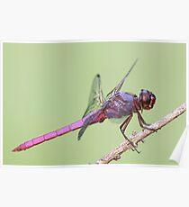 Roseate Skimmer Dragonfly Poster