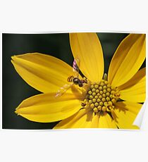 Hover Fly on Flower Poster