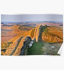 Shivering sheep on Hotbank Crag. Poster