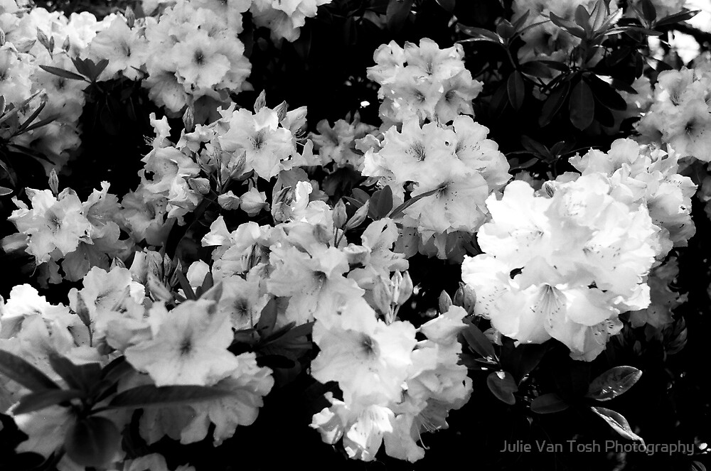 Rhododendron by Julie Van Tosh Photography