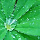 Lupine After the Rain by Nancy Barrett