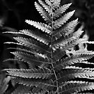 Ferns - an obsession with their beauty by MLabuda