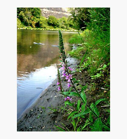Purple Loosestrife Photographic Print