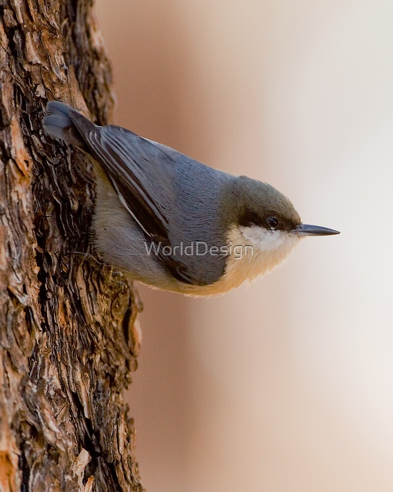 Brown-headed Nuthatch  by WorldDesign