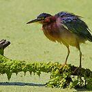 Green Heron by John Absher
