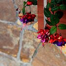 Fuchsias hanging from a wall  by ZWC Photography