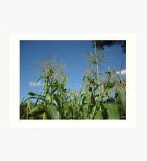 Summer Corn Art Print