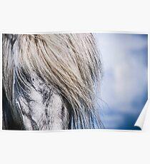 Icelandic Horse - Hjorsey Island, Iceland Poster