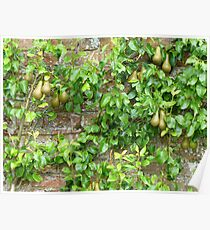 Espaliered Conference Pears Poster