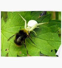 Dorsata Hummel Hunting Victims Spider Nature Poster