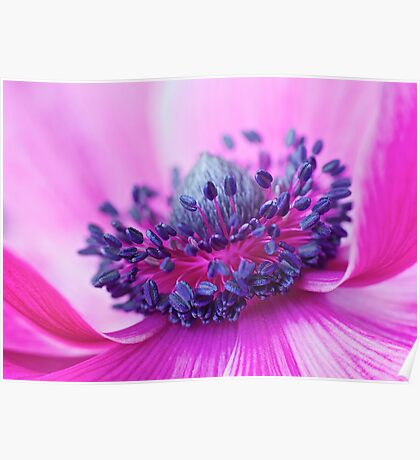 More Beautiful: Anemone Poppy Poster