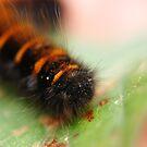 Caterpillar by jussta
