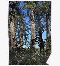 Tall balsam poplar trees Poster