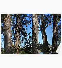 Balsam Poplar trees Poster