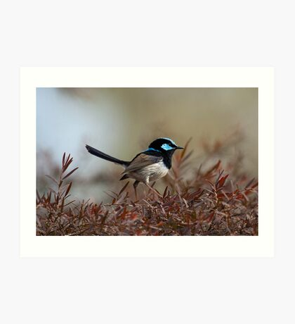 Male Fairy Wren Art Print